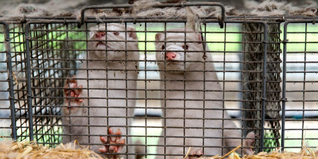Denmark's mink-cull law is dead—but it's still too late for the millions sent to slaughter