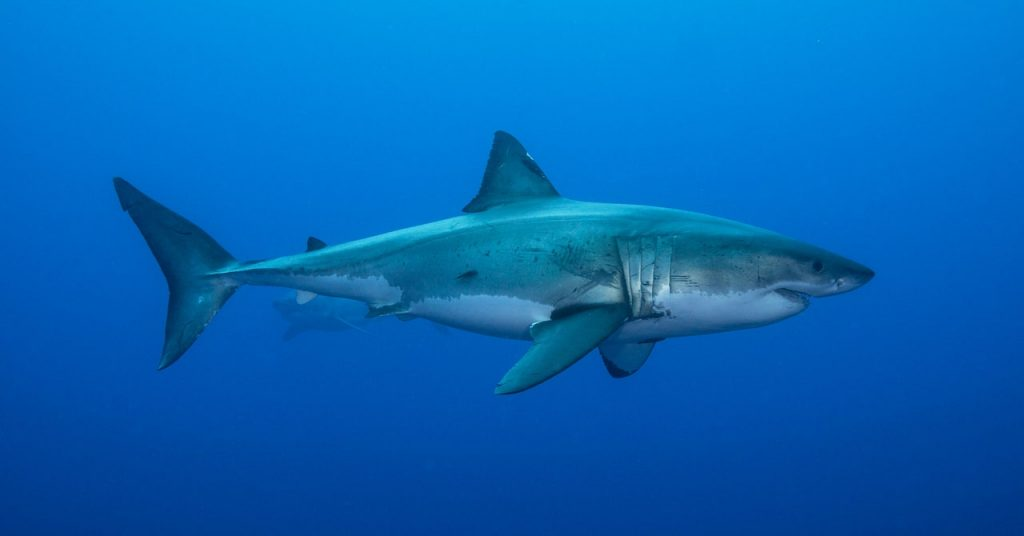 Sharks Use the Earth's Magnetic Field Like a Compass